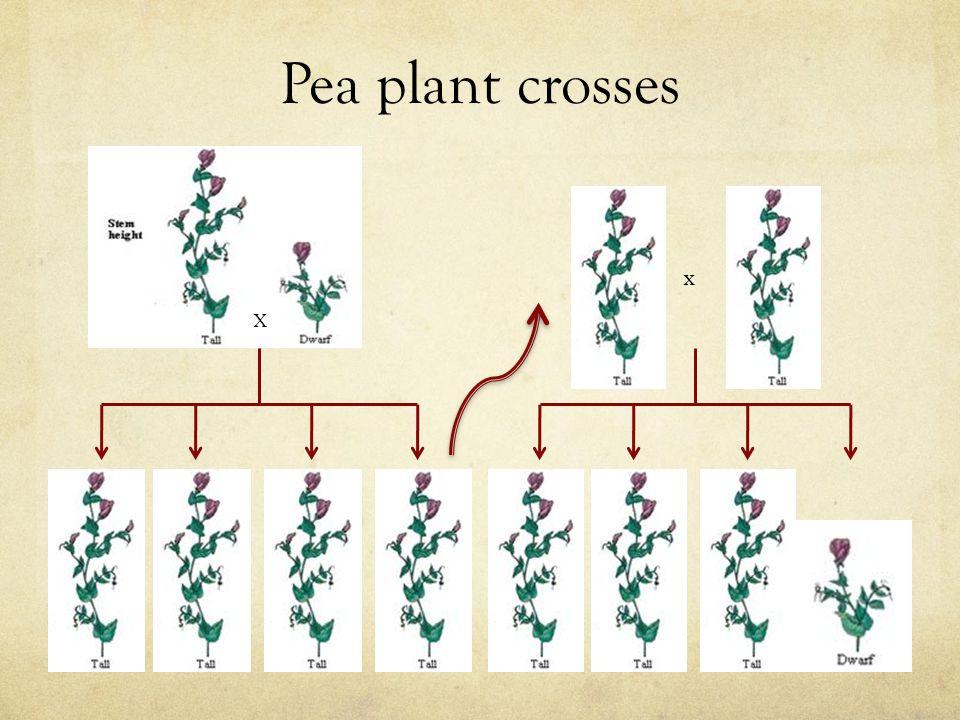 Pea plant crosses X x