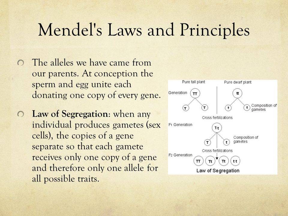 Mendel s Laws and Principles The alleles we have came from our parents.