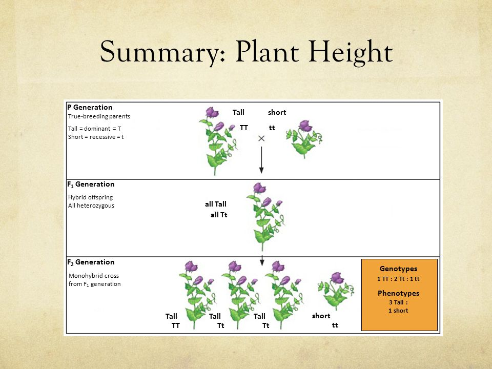 Summary: Plant Height tt P Generation F 1 Generation F 2 Generation True-breeding parents Tall = dominant = T Short = recessive = t TTtt Hybrid offspring All heterozygous all Tt Monohybrid cross from F 1 generation TTTt Tall all Tall Tall short Genotypes 1 TT : 2 Tt : 1 tt Phenotypes 3 Tall : 1 short
