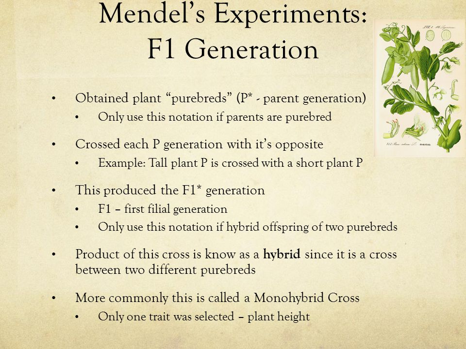 """Mendel's Experiments: F1 Generation Obtained plant """"purebreds"""" (P* - parent generation) Only use this notation if parents are purebred Crossed each P"""