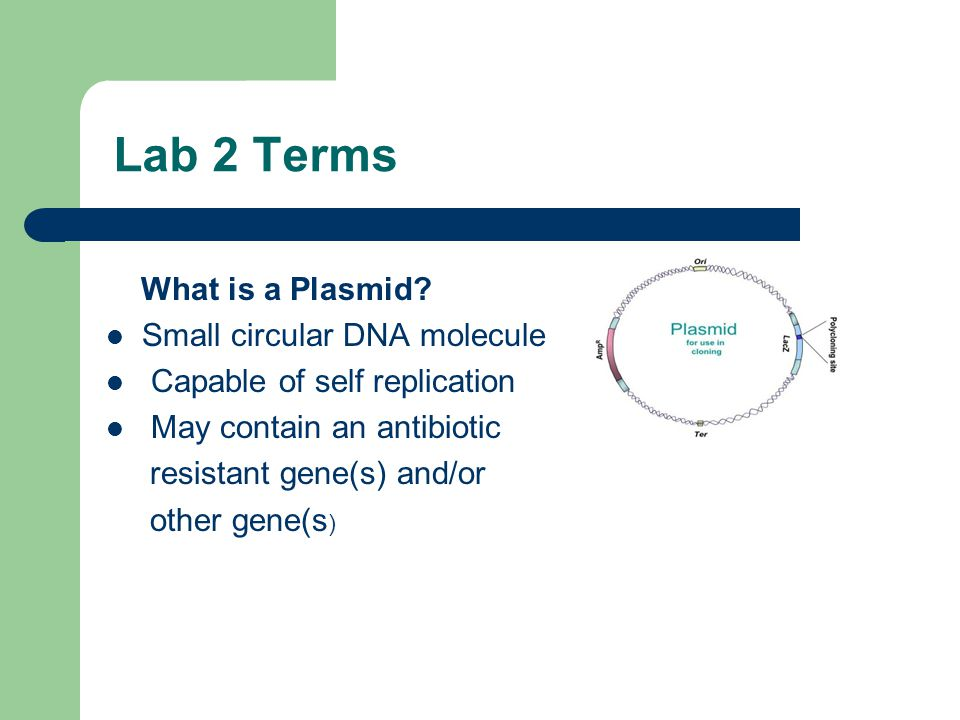 Lab 2 Terms What is a Plasmid? Small circular DNA molecule Capable of self replication May contain an antibiotic resistant gene(s) and/or other gene(s