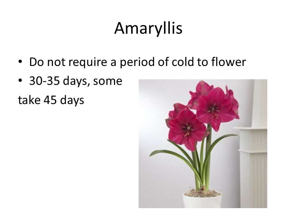 Amaryllis Do not require a period of cold to flower 30-35 days, some take 45 days