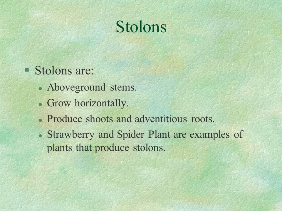 Stolons §Stolons are: l Aboveground stems.l Grow horizontally.