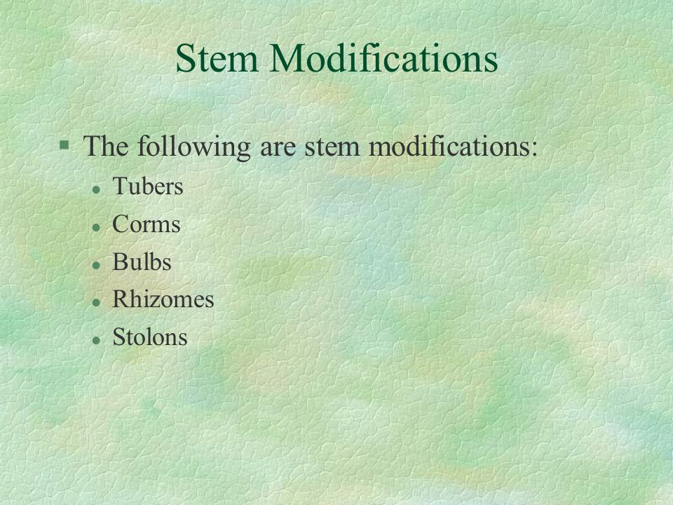 Stem Modifications §The following are stem modifications: l Tubers l Corms l Bulbs l Rhizomes l Stolons