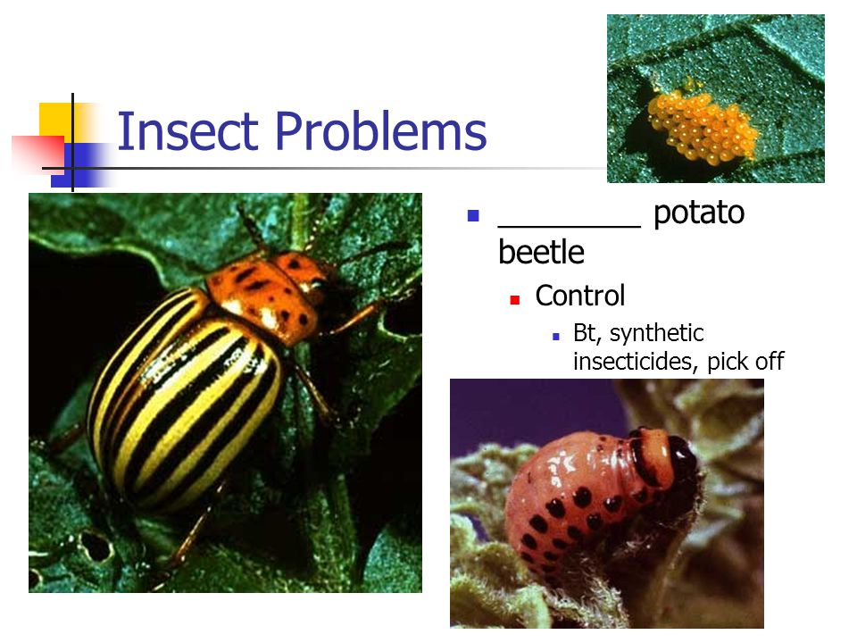 Insect Problems ________ potato beetle Control Bt, synthetic insecticides, pick off