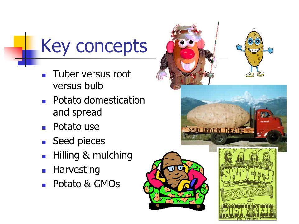 Key concepts Tuber versus root versus bulb Potato domestication and spread Potato use Seed pieces Hilling & mulching Harvesting Potato & GMOs