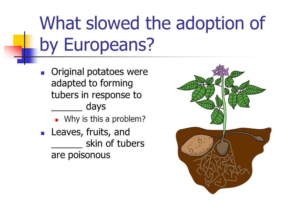 What slowed the adoption of by Europeans? Original potatoes were adapted to forming tubers in response to ______ days Why is this a problem? Leaves, f
