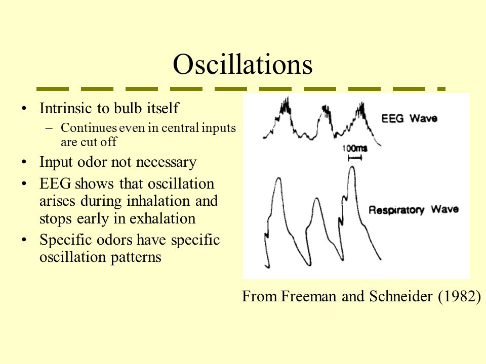 Oscillations Intrinsic to bulb itself –Continues even in central inputs are cut off Input odor not necessary EEG shows that oscillation arises during