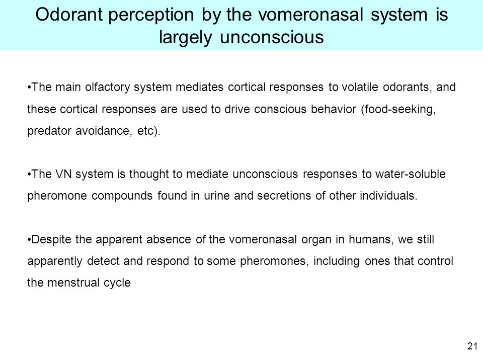 21 Odorant perception by the vomeronasal system is largely unconscious The main olfactory system mediates cortical responses to volatile odorants, and these cortical responses are used to drive conscious behavior (food-seeking, predator avoidance, etc).