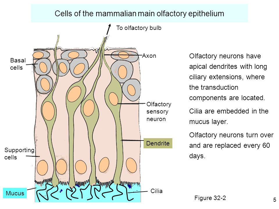 5 Cells of the mammalian main olfactory epithelium Olfactory neurons have apical dendrites with long ciliary extensions, where the transduction components are located.