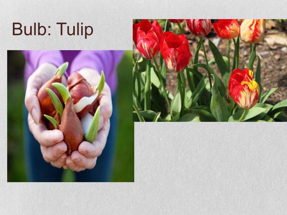 Bulb: Tulip