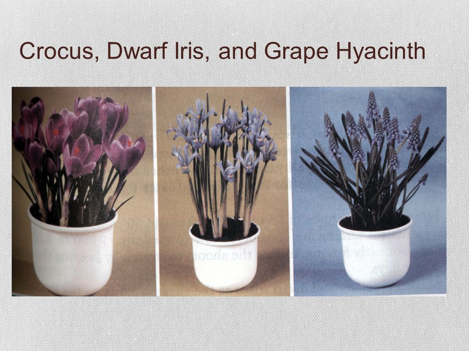 Crocus, Dwarf Iris, and Grape Hyacinth