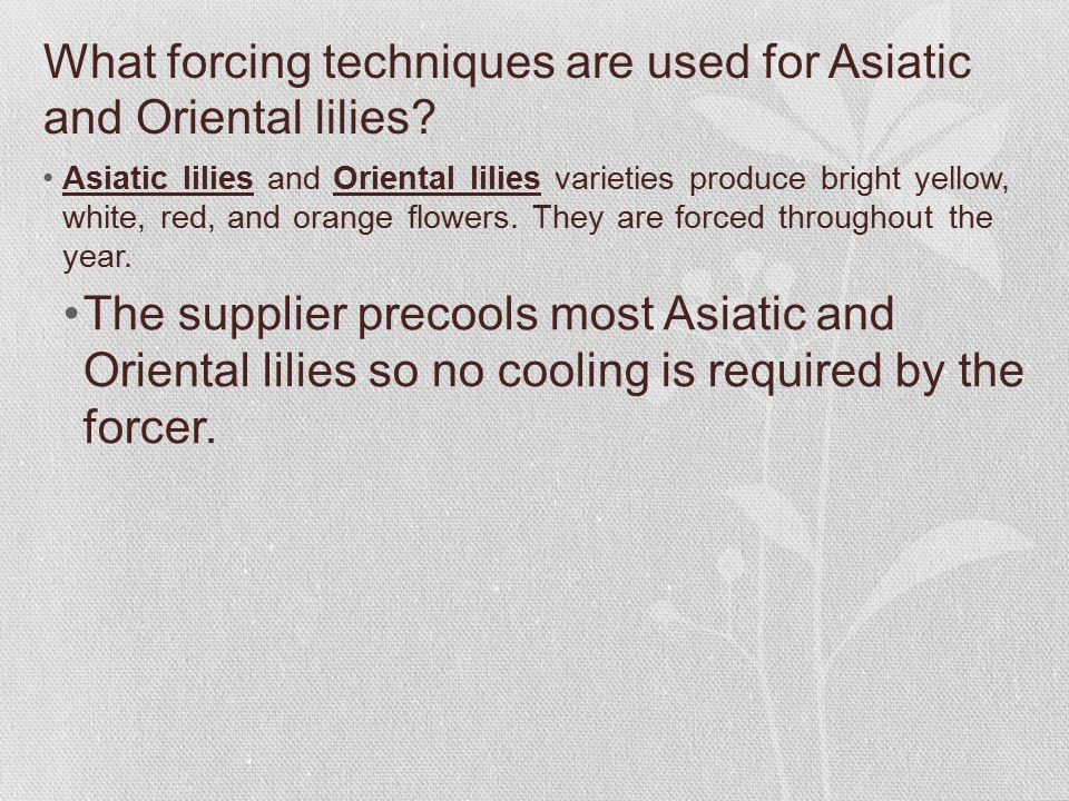 What forcing techniques are used for Asiatic and Oriental lilies.