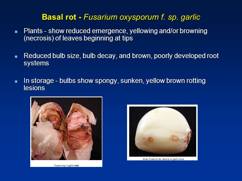 Basal rot - Fusarium oxysporum f. sp. garlic Plants - show reduced emergence, yellowing and/or browning (necrosis) of leaves beginning at tips Plants