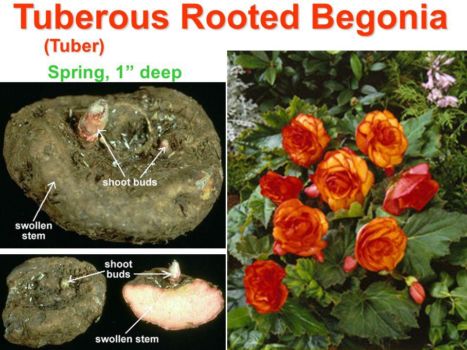 Tuberous Rooted Begonia (Tuber) Spring, 1 deep