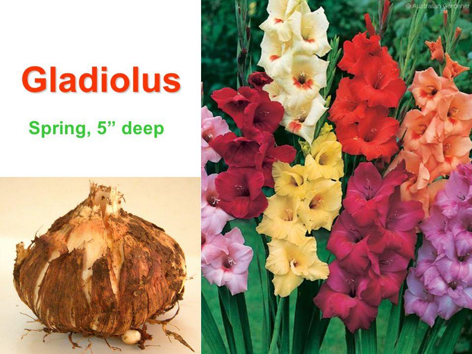 Gladiolus Spring, 5 deep