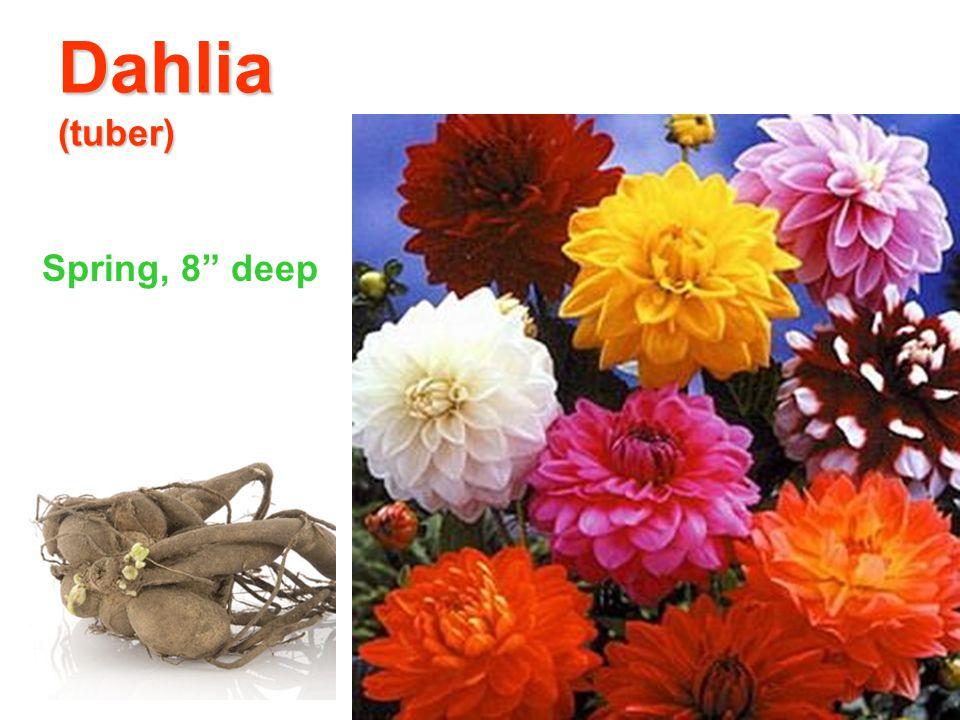 Dahlia (tuber) Spring, 8 deep