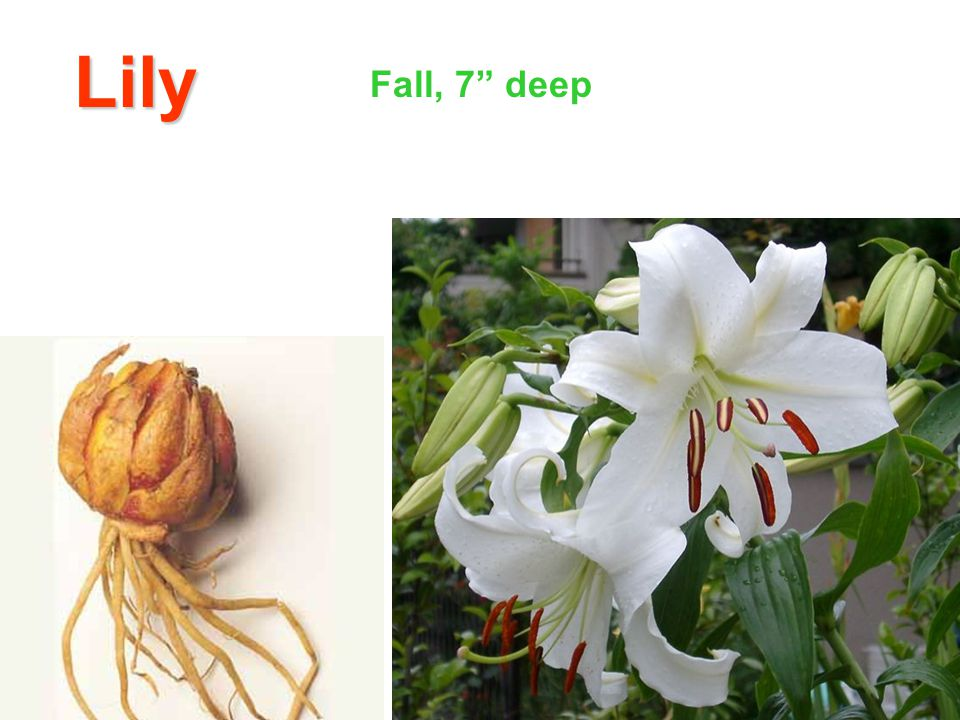 Lily Fall, 7 deep