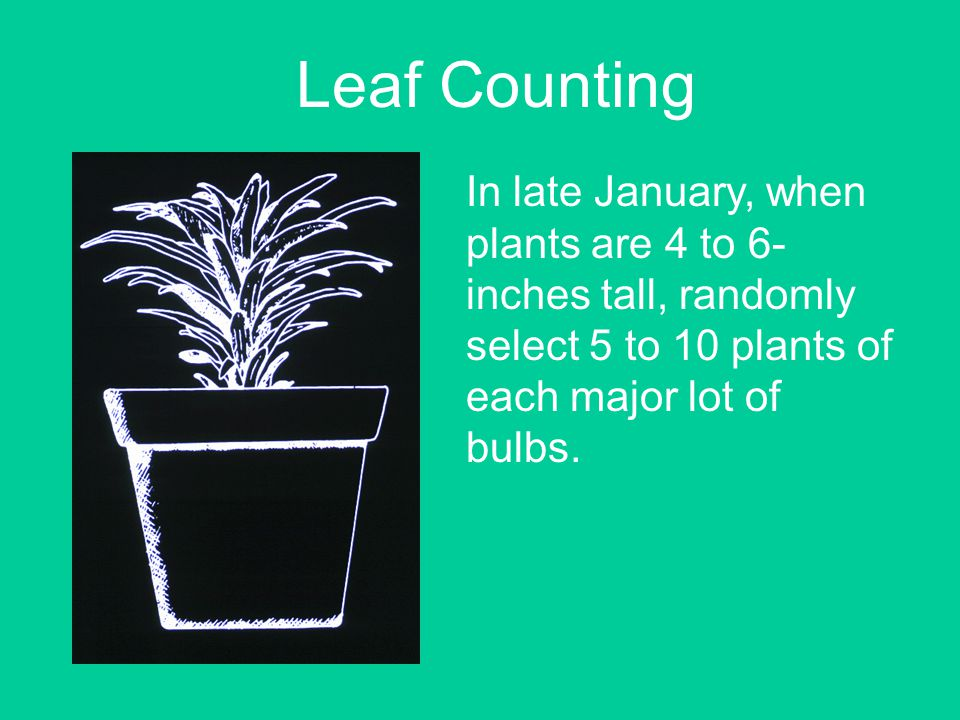 Leaf Counting In late January, when plants are 4 to 6- inches tall, randomly select 5 to 10 plants of each major lot of bulbs.