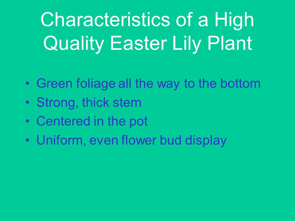 Characteristics of a High Quality Easter Lily Plant Green foliage all the way to the bottom Strong, thick stem Centered in the pot Uniform, even flower bud display