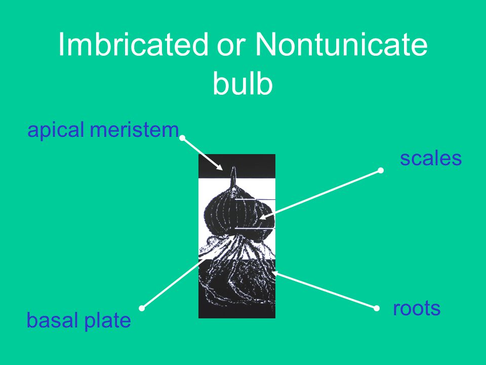 Imbricated or Nontunicate bulb scales basal plate apical meristem roots