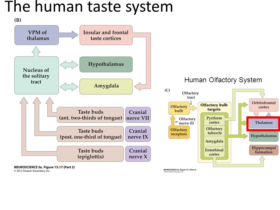 The human taste system Human Olfactory System