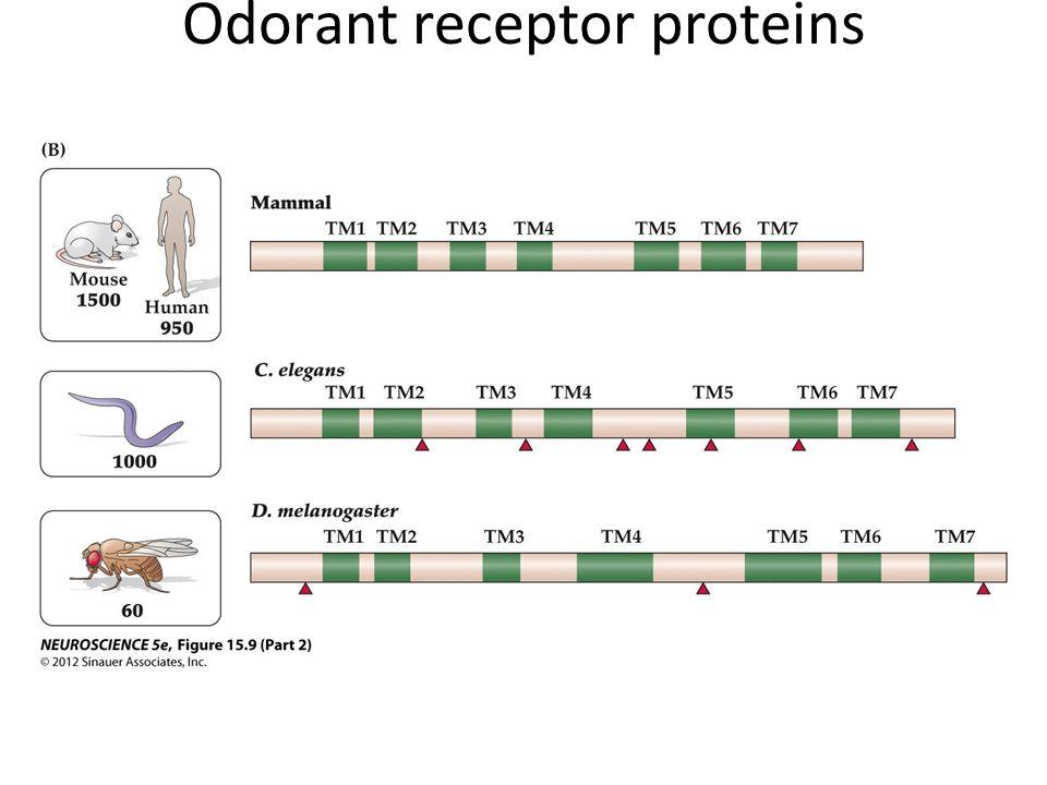 Odorant receptor proteins