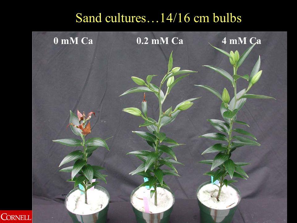 0 mM Ca0.2 mM Ca4 mM Ca Sand cultures…14/16 cm bulbs