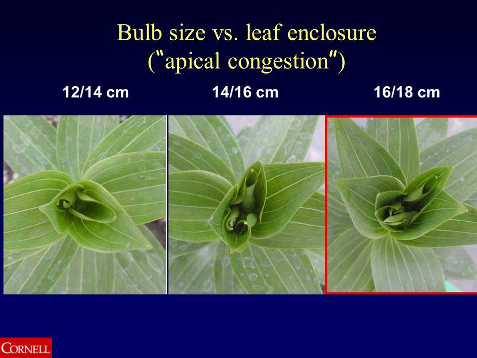 12/14 cm16/18 cm14/16 cm Bulb size vs. leaf enclosure ( apical congestion )