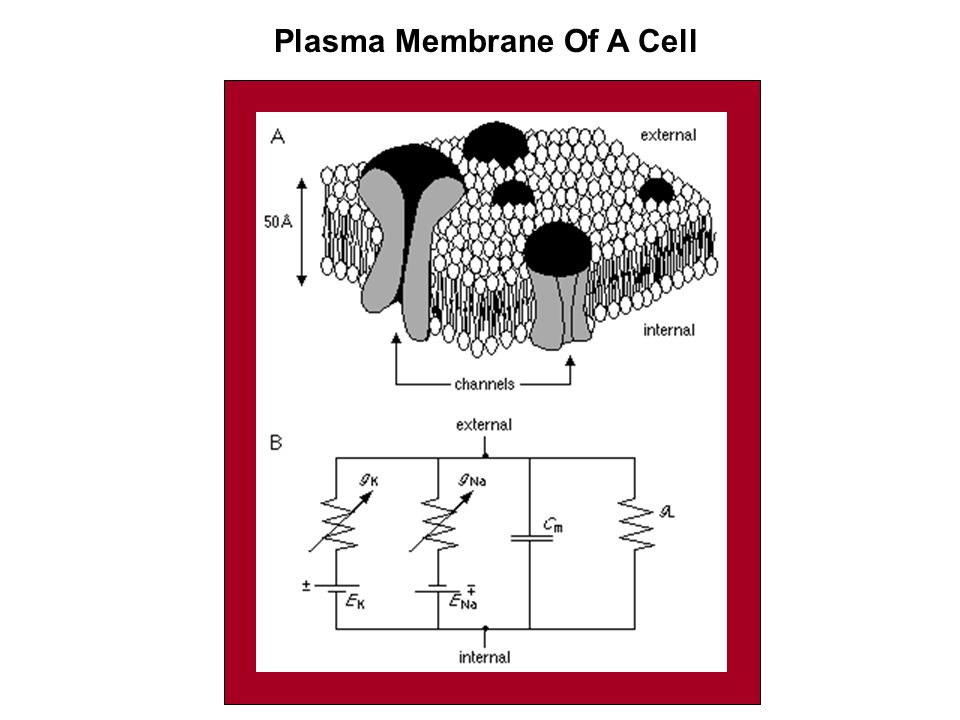 Plasma Membrane Of A Cell