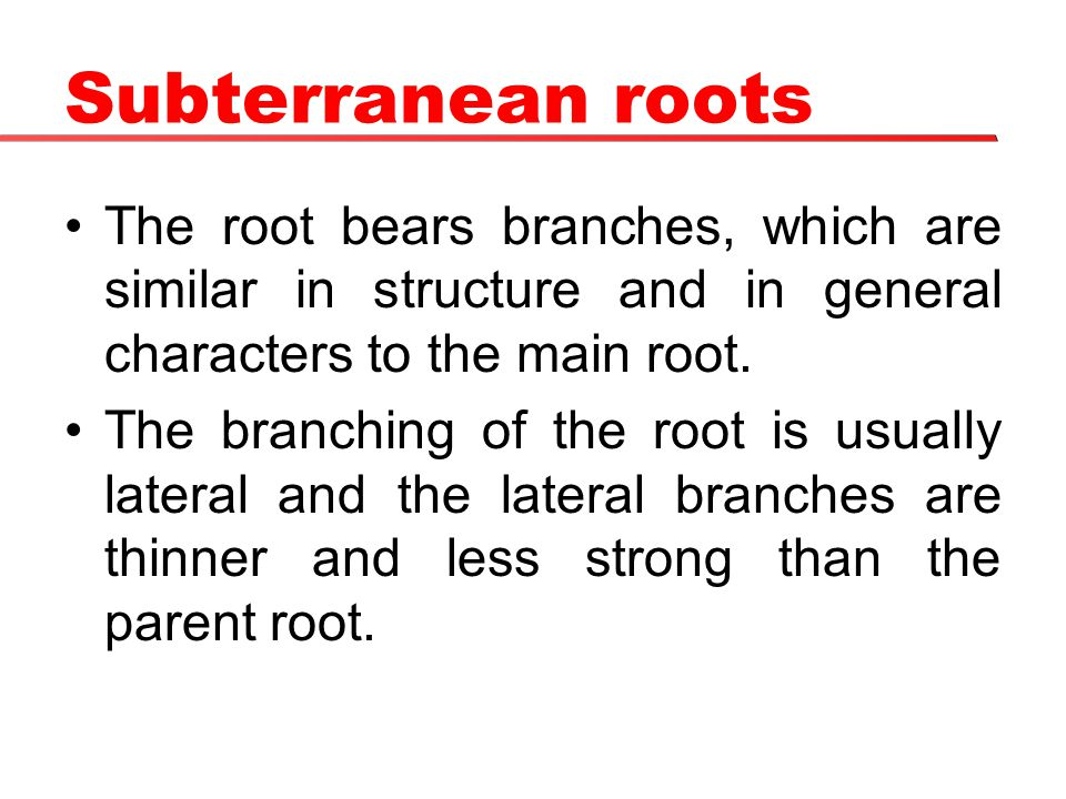 Subterranean roots The root bears branches, which are similar in structure and in general characters to the main root. The branching of the root is us