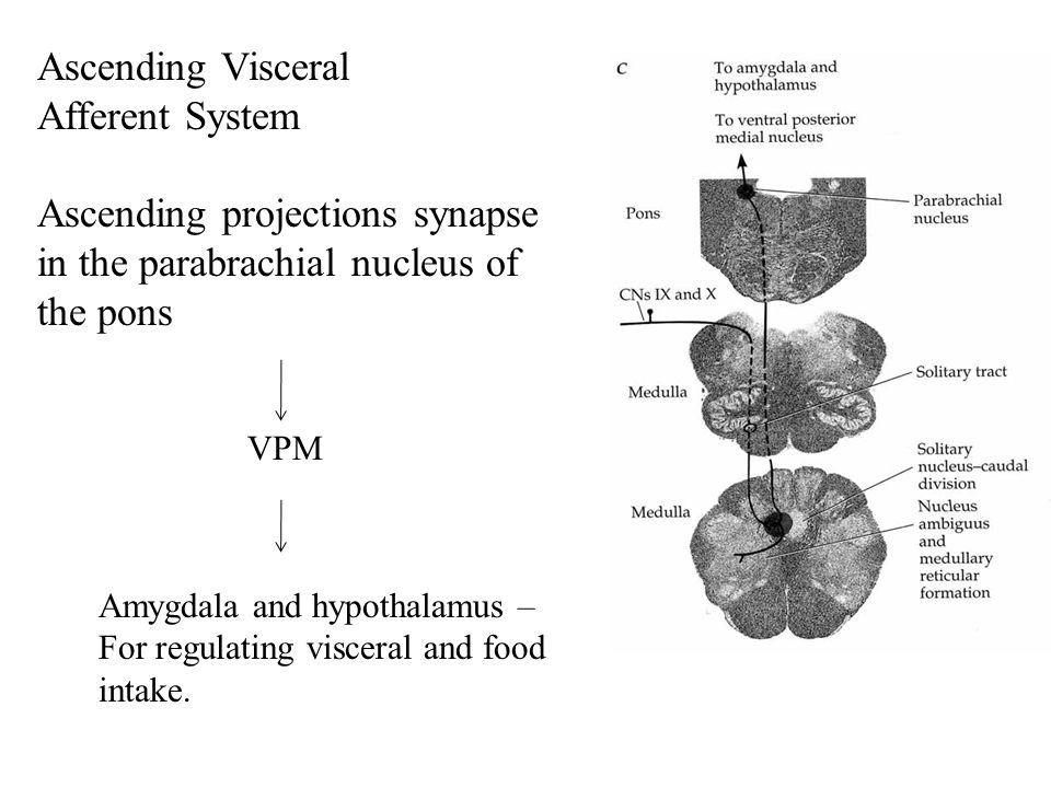 Ascending Visceral Afferent System Ascending projections synapse in the parabrachial nucleus of the pons VPM Amygdala and hypothalamus – For regulating visceral and food intake.