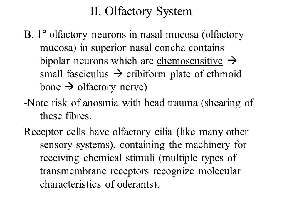 II. Olfactory System B.