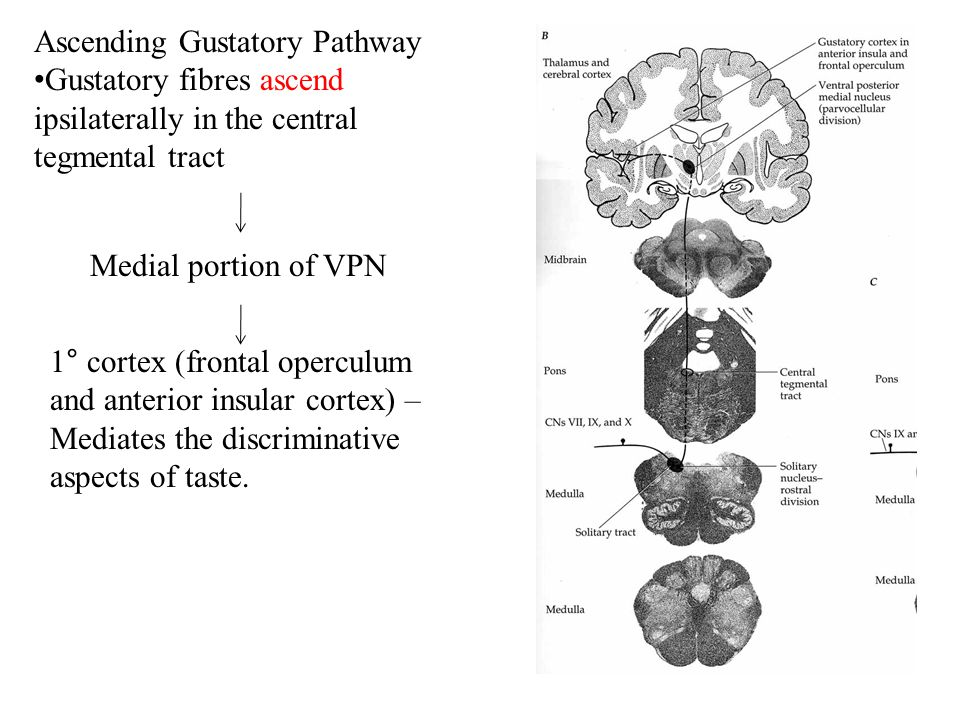 Ascending Gustatory Pathway Gustatory fibres ascend ipsilaterally in the central tegmental tract Medial portion of VPN 1° cortex (frontal operculum and anterior insular cortex) – Mediates the discriminative aspects of taste.