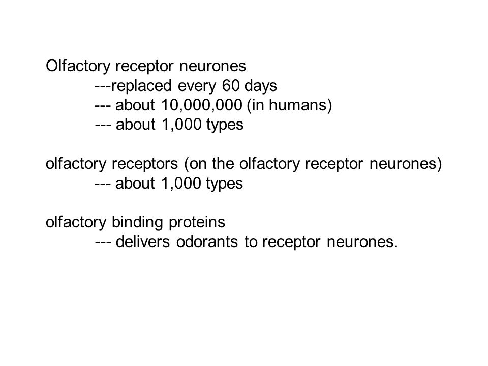 Olfactory receptor neurones ---replaced every 60 days --- about 10,000,000 (in humans) --- about 1,000 types olfactory receptors (on the olfactory rec