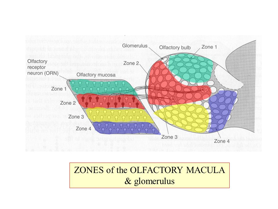 ZONES of the OLFACTORY MACULA & glomerulus