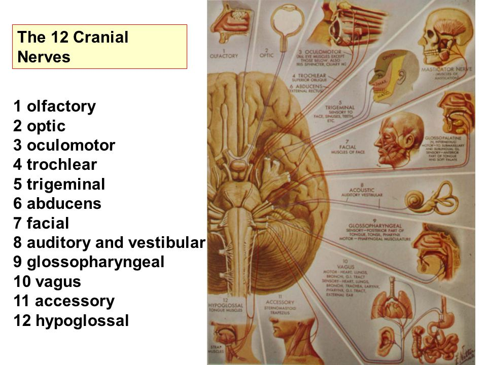 The 12 Cranial Nerves 1 olfactory 2 optic 3 oculomotor 4 trochlear 5 trigeminal 6 abducens 7 facial 8 auditory and vestibular 9 glossopharyngeal 10 vagus 11 accessory 12 hypoglossal