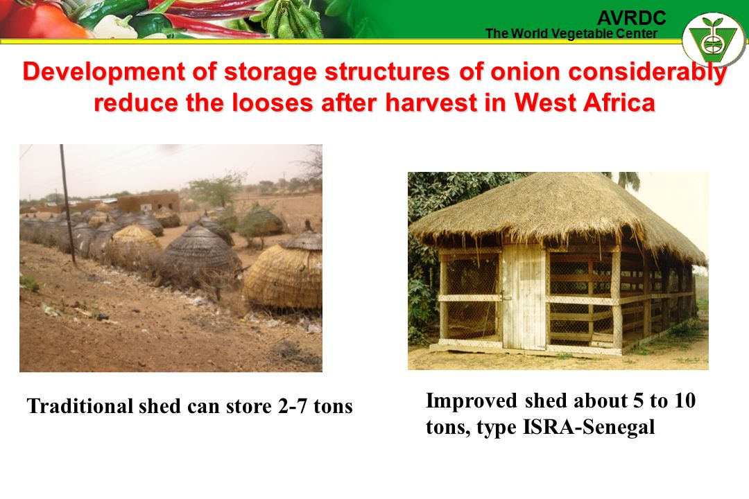 The World Vegetable Center AVRDC Development of storage structures of onion considerably reduce the looses after harvest in West Africa Traditional sh