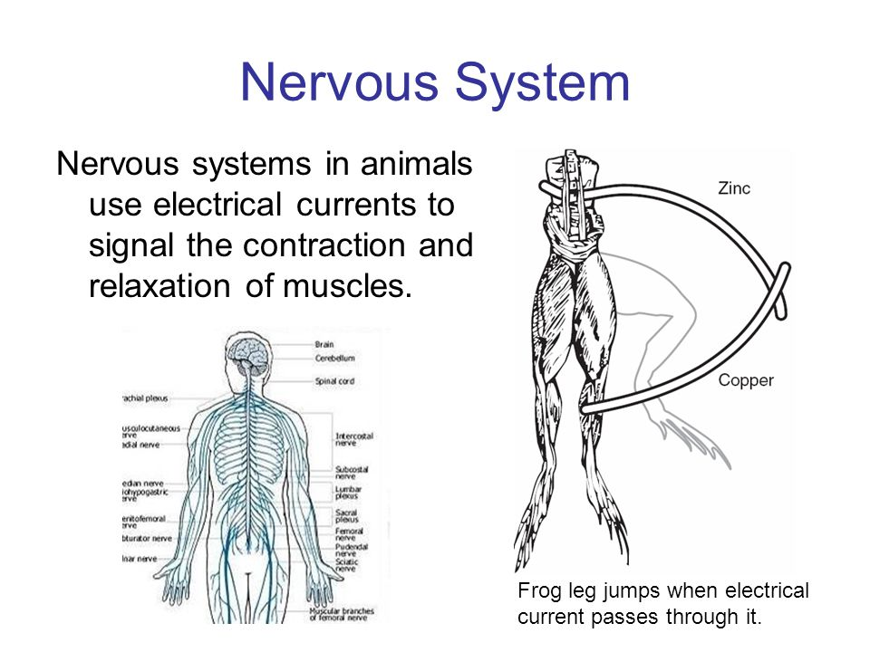 Nervous System Nervous systems in animals use electrical currents to signal the contraction and relaxation of muscles.