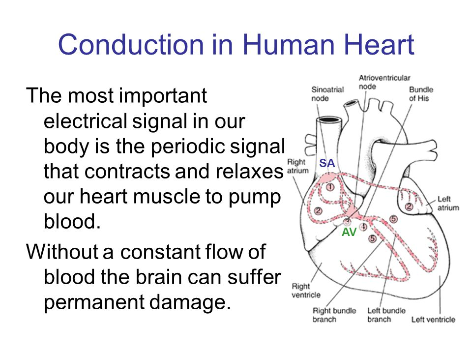 Conduction in Human Heart The most important electrical signal in our body is the periodic signal that contracts and relaxes our heart muscle to pump blood.