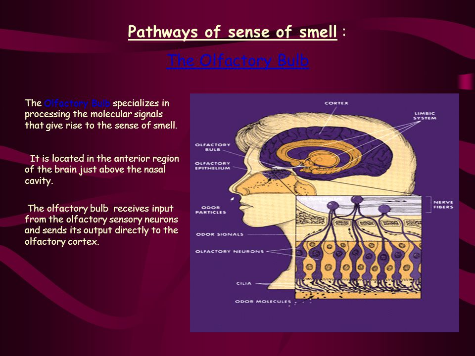 Olfactory Bulb: Sequence of Events 2.