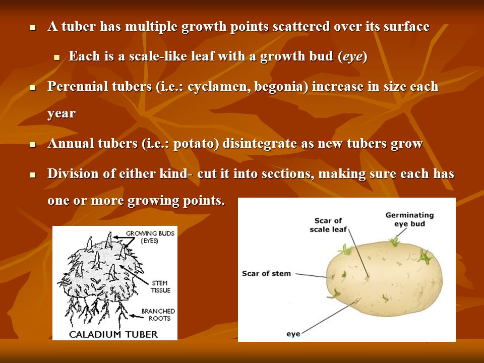 Tubers Similar to corms, they are swollen underground stem bases, but lack the corms organization Similar to corms, they are swollen underground stem