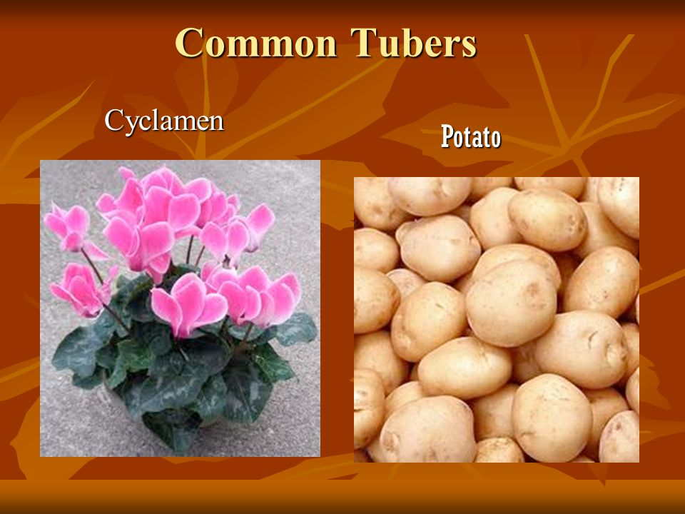 A tuber has multiple growth points scattered over its surface A tuber has multiple growth points scattered over its surface Each is a scale-like leaf