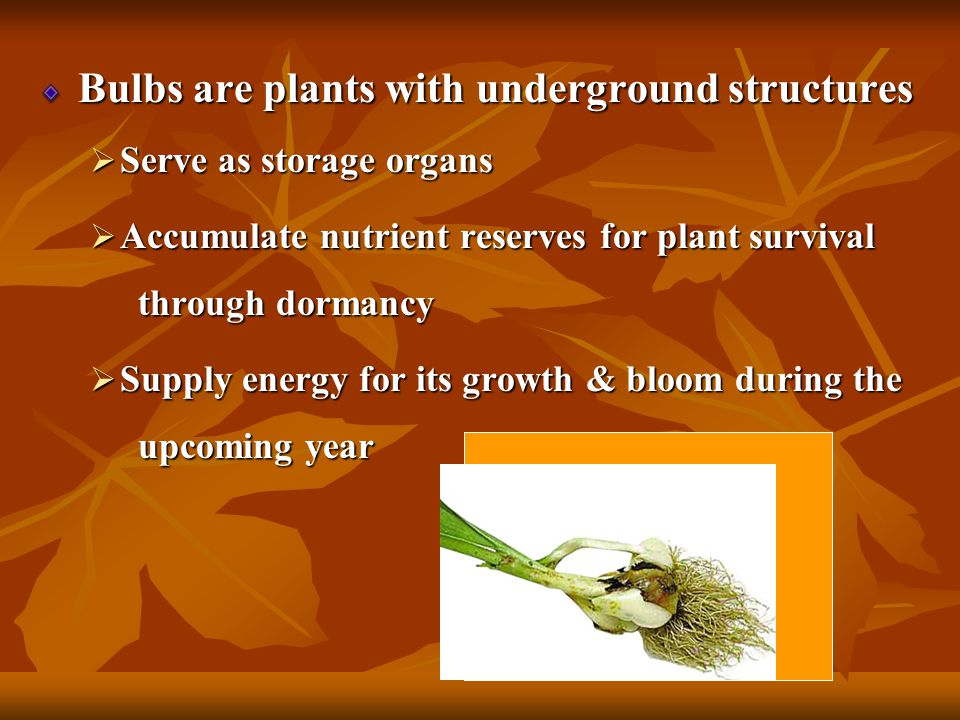 Bulbs Plants with Underground Structures