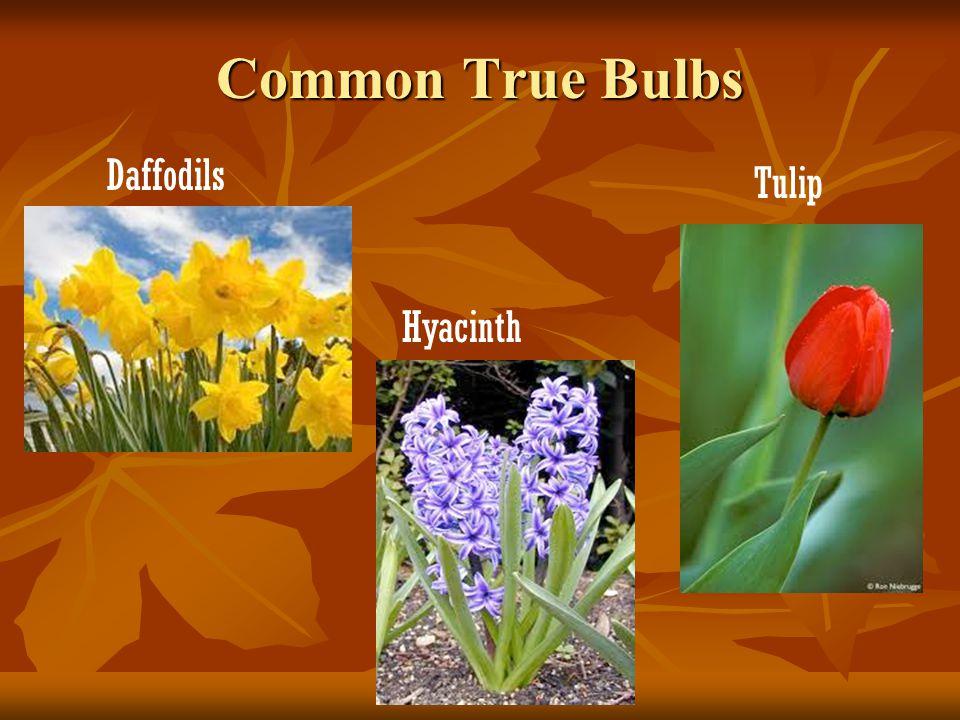 True Bulbs Underground stem that contains embryonic plant inside Underground stem that contains embryonic plant inside These are surrounded by scales