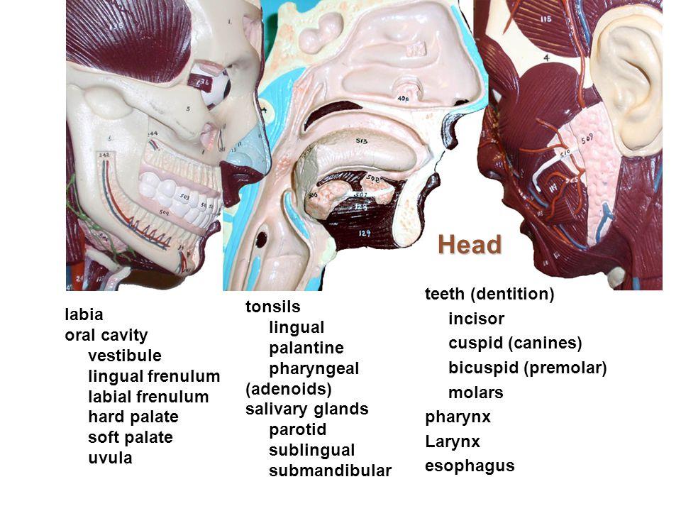 Head teeth (dentition) incisor cuspid (canines) bicuspid (premolar) molars pharynx Larynx esophagus labia oral cavity vestibule lingual frenulum labia