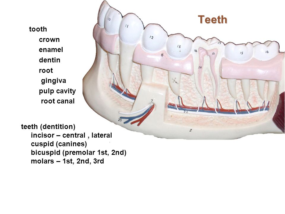 Teeth tooth crown enamel dentin root gingiva pulp cavity root canal teeth (dentition) incisor – central, lateral cuspid (canines) bicuspid (premolar 1