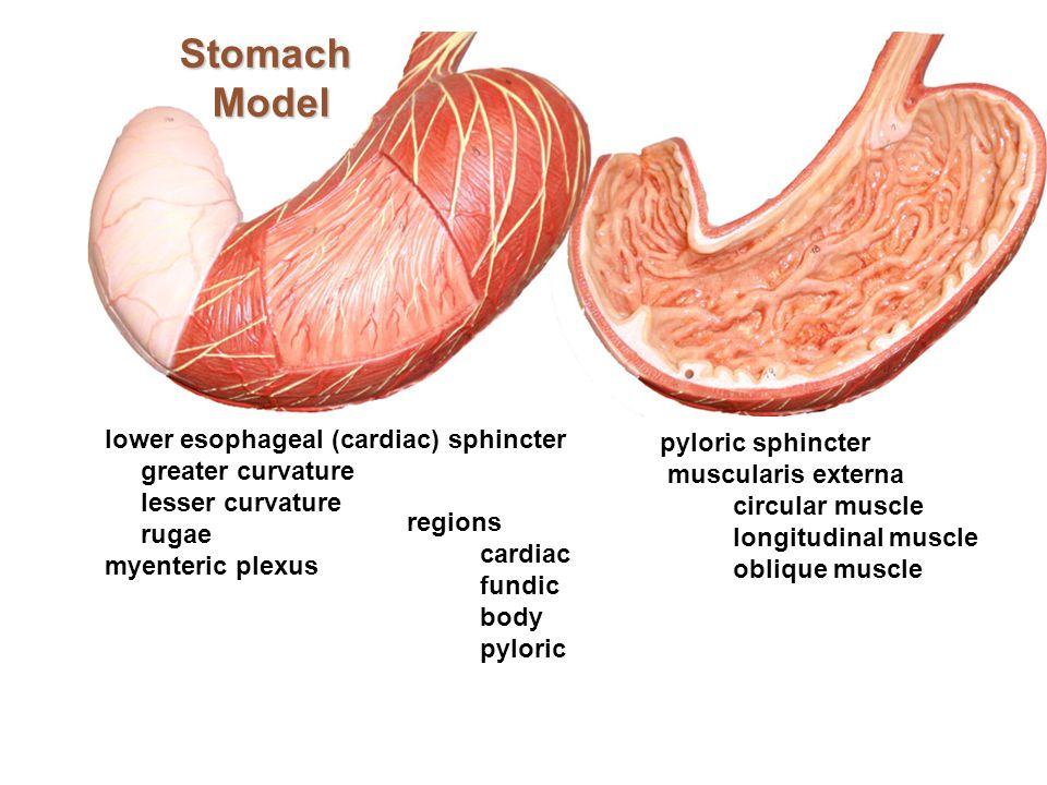 Stomach Model lower esophageal (cardiac) sphincter greater curvature lesser curvature rugae myenteric plexus pyloric sphincter muscularis externa circ