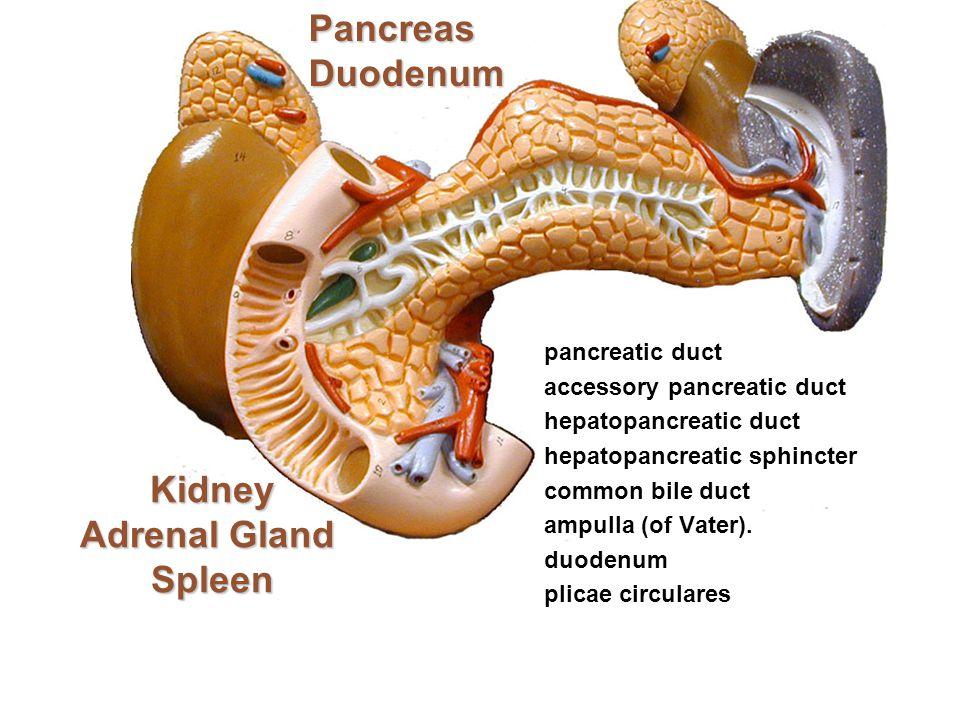 Kidney Adrenal Gland Spleen Kidney Adrenal Gland Spleen pancreatic duct accessory pancreatic duct hepatopancreatic duct hepatopancreatic sphincter com