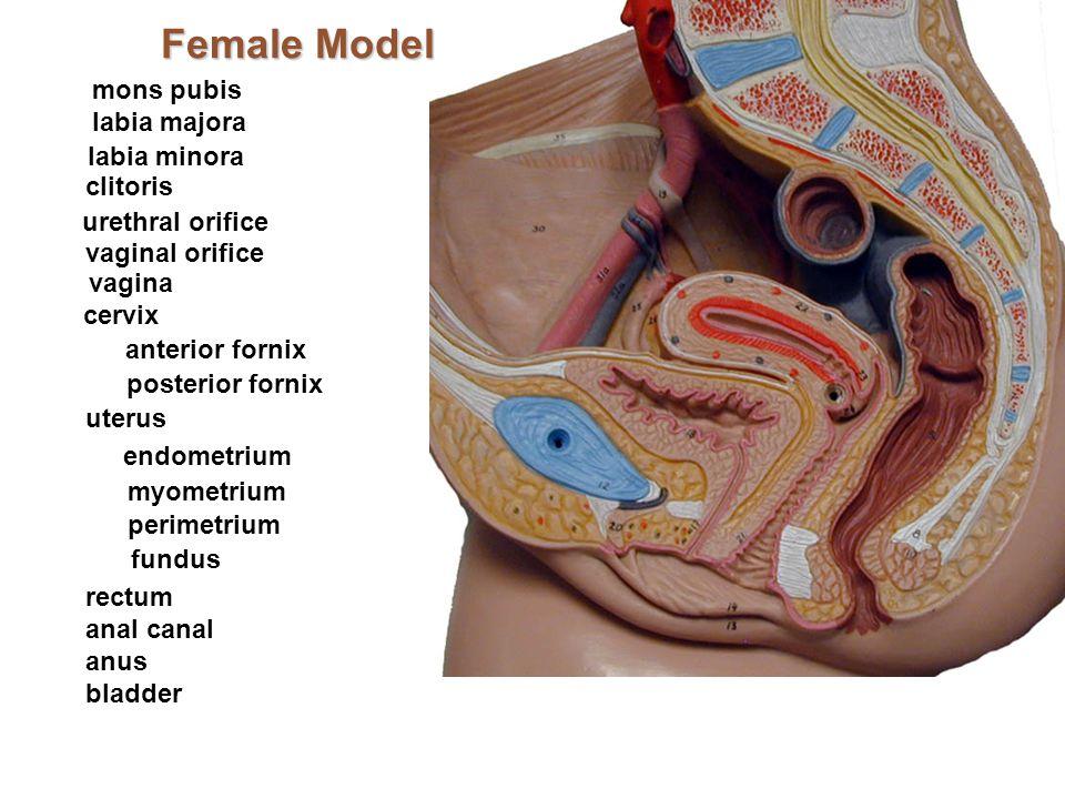 Female Model mons pubis labia majora labia minora clitoris urethral orifice vaginal orifice vagina cervix anterior fornix uterus endometrium myometriu